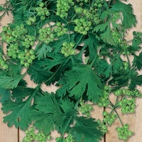 Coriander for seed
