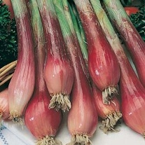 Onion (Spring) Red Toga