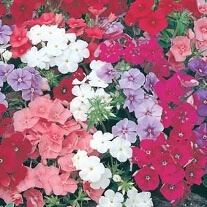 Phlox Beauty Mixed