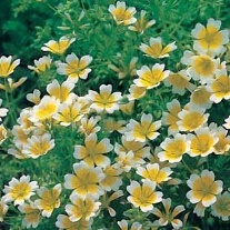 Poached Egg Plant - Limnanthes