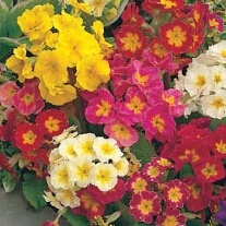 Polyanthus Large Flowered Mixed