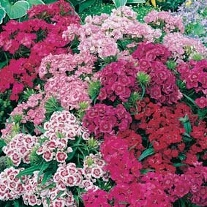 Sweet William Indian Carpet Mixed