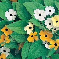 Black Eyed Susan Susie Mixed