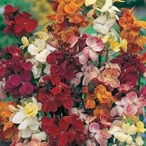 Wallflower Single Mixed