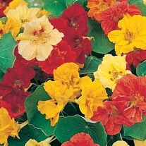 Nasturtium Jewel Mixed