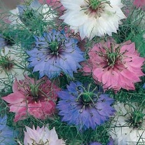 Nigella Persian Jewels Mixed