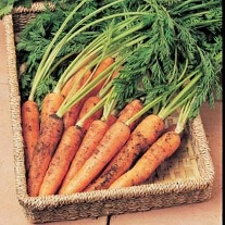Carrot Resistafly - Tozresis F1