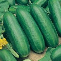 Cucumber Socrates F1