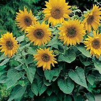 Sunflower Pacino Gold