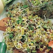 Radish Mooli (Sprouting Seeds)