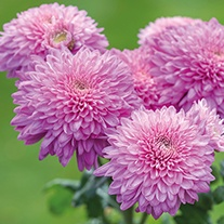 Chrysanthemum Gompie Purple