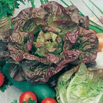 Lettuce Merveille des Quatre Saison (ORGANIC)
