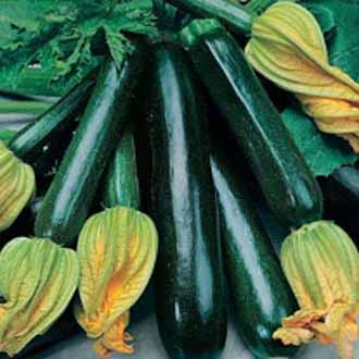 Courgette Black Beauty (ORGANIC)