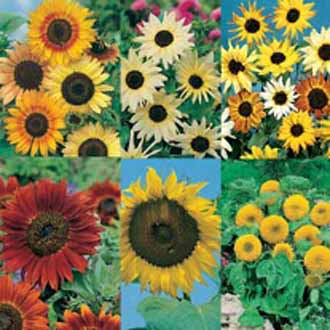 Sunflower Collection