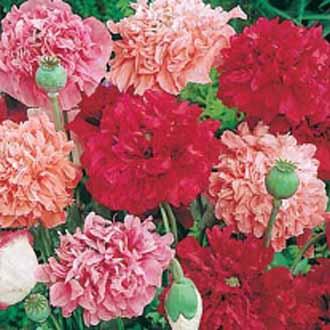 Poppy Paeony Flowered Mixed