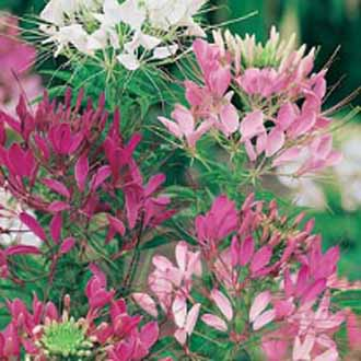 Cleome Colour Fountain Mixed