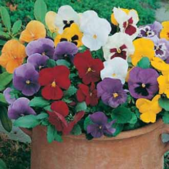 Pansy Special Early Mixed F1
