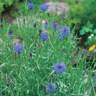 Wildflower Cornflower