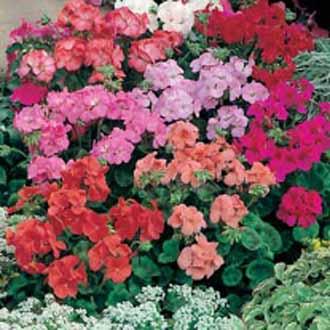 Geranium Special Multiflora Mixed F1