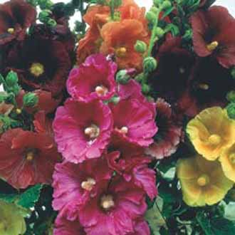 Hollyhock Giant Single Mixed - 25% extra FREE