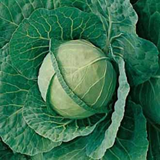 Cabbage Langedijk 4