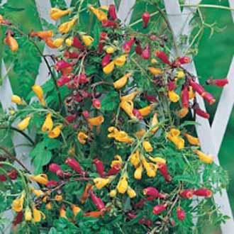 Eccremocarpus Tresco Mixed