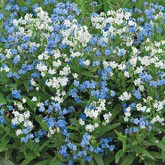 Forget Me Not (Chinese) Chill Out