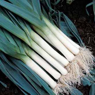 Leek Bluegreen Winter (Tadorna)