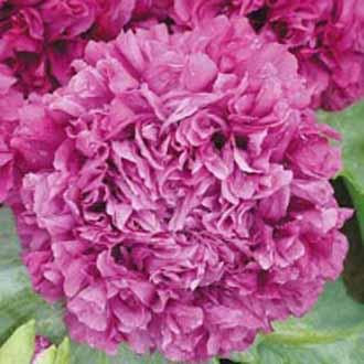 Poppy Purple Passion