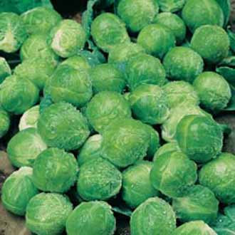 Brussels Sprout Green Marble F1
