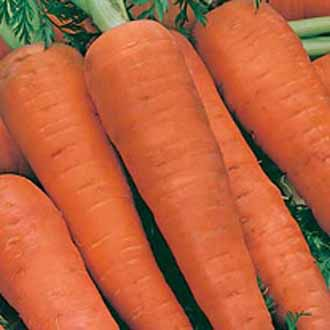 Carrot Autumn King 2 ~ 25% extra FREE