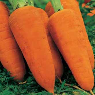 Carrot Chantenay Red Cored 2