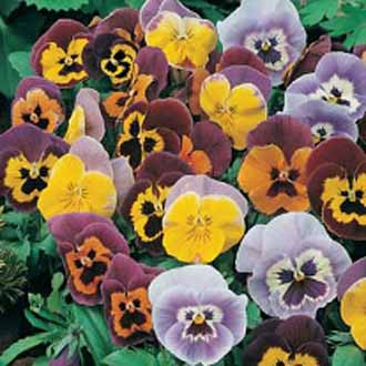 Pansy Joker Mixed F2