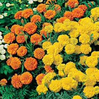 Marigold (French) Oranges and Lemons