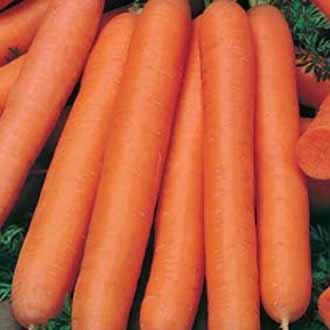 Carrot Nantes 5