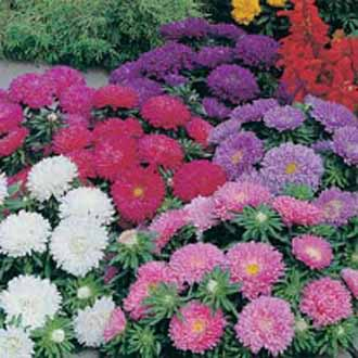 Aster Colour Carpet Mixed