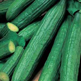Cucumber Telegraph Improved