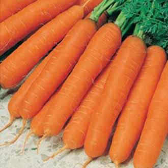 Carrot Jitka F1