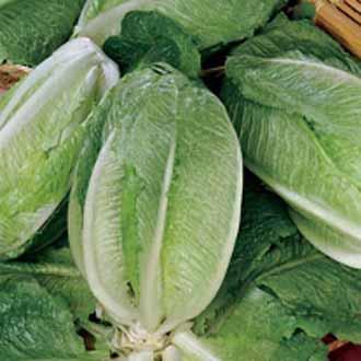 Lettuce Gelbus