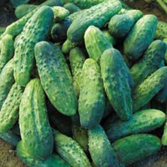 Cucumber (Gherkin) Bohemia F1
