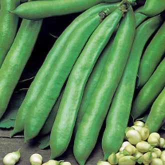 Broad Bean Valenciana