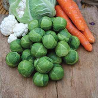 Brussels Sprout Brest F1
