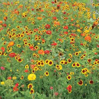 Mixed Annuals Maggie May