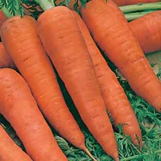 Carrot Autumn King 2 (TAPE)