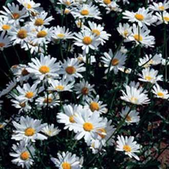 White breezejohnsons seeds flower seeds chrysanthemum white breeze mightylinksfo
