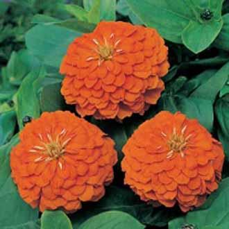 Zinnia Orange King