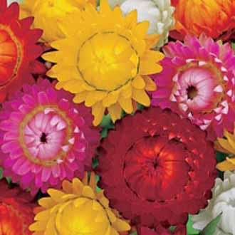 Helichrysum Double Mixed