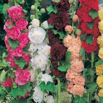 Hollyhock Double Mixed