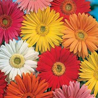 Gerbera California Giants Mixedjohnsons Seeds Flower Seeds