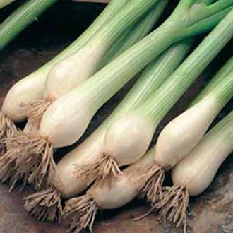 Onion (Spring) White Lisbon ~ 25% extra FREE